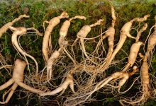 Photo of Comment choisir un vrai et authentique ginseng ?