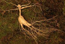 Photo of Interactions du ginseng avec les autres plantes